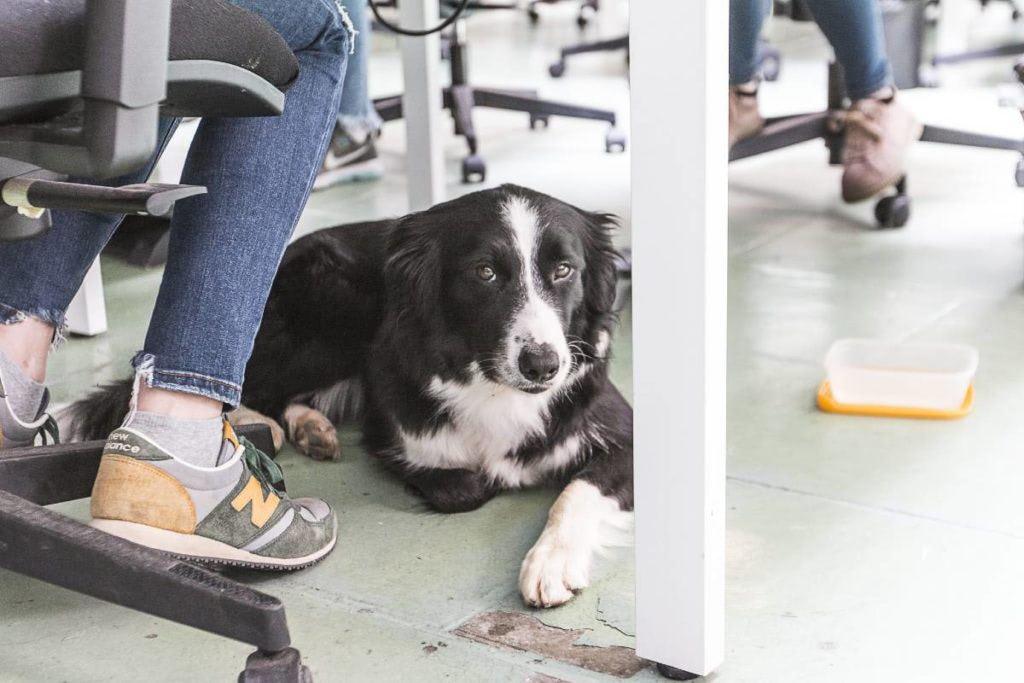 Les oficines dog-friendly milloren la productivitat i redueixen l'estrés